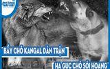 Video: Bầy chó Kangal dàn trận, hạ gục chó sói hoang