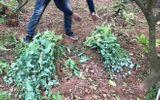 Tin trong nước - Hàng loạt người dân ở Bắc Giang trồng thuốc phiện tại nhà để làm rau ăn, chăn nuôi