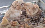 """Đời sống - Cùng phận bị đem ra chợ bán, chú chó cố """"lau"""" nước mắt cho bạn làm ai nấy nhói lòng"""