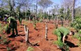 """Tin trong nước - Đắk Lắk: Hai anh em ruột lập """"nông trại"""" trồng hơn 1.500 cây cần sa trong rẫy vắng"""