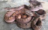 Tin tức đời sống ngày 19/3: Đi cắt sả, 2 người bị rắn chàm quạp suýt mất mạng