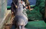 """Ngư dân bắt được cá """"khủng"""" nặng hơn 550 kg, thương lái trả ngay 40 triệu đồng"""