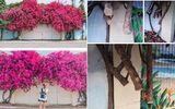 Dân mạng tiếc nuối khi giàn hoa giấy đẹp nhất Vũng Tàu bị kẻ gian chặt ngang gốc