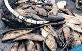 Hàng chục tấn cá ở Thanh Hóa chết bất thường, chưa rõ nguyên nhân