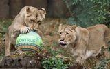 Tin thế giới - Lần đầu tại Ấn Độ, 8 con sư tử dương tính với SARS-CoV-2