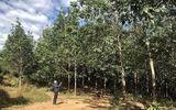 """Thị trường - Kỳ lạ gần 400 héc ta cao su """"vô chủ"""" trên đất rừng ở Gia Lai"""