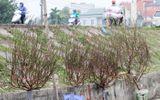 Không khí Tết đến gần qua những cánh đào Nhật Tân nở sớm