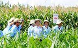 Bầu Đức bổ sung đầu tư vào trồng bắp tại Campuchia