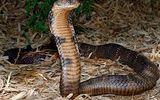 Bị rắn cắn chết vì mang rắn độc vào nhà nghỉ