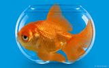 Khám phá 4 bí mật về loài cá cảnh