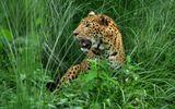 Báo dữ ăn thịt 15 người ở Nepal