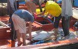 Giáp Tết, ngư dân được mùa biển cá ngừ