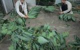 """Nhiều hộ dân đổi đời từ công việc """"nhặt lá... hóa tiền"""""""