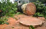 Hà Nội sẽ chặt bỏ gần 150 cây xà cừ đường Nguyễn Trãi – Trần Phú
