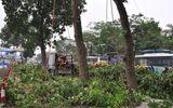 Bắt đầu đốn hạ hàng cây xà cừ cổ thụ trước vườn thú Thủ Lệ