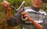 Chuyện chưa kể về những người săn rắn độc xứ Kinh Bắc