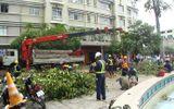 Đốn hạ hàng chục cây cổ thụ trước Nhà hát TP.HCM