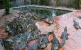 Vỡ nợ vì hám lợi bán cá sấu giá cao cho thương lái Trung Quốc