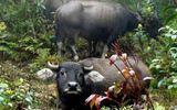 Cuộc chiến sinh tử của những cao thủ vào rừng săn trâu luông