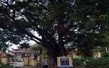 Huyền bí quanh cây thị cổ từng ghi dấu ấn lịch sử