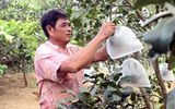 Đồng Nai: Bưởi tết thất thu do dịch ruồi đục trái