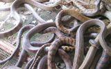 Thương lái TQ không mua rắn, nông dân miền Tây lao đao