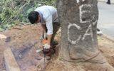 Đốn hạ nhiều cây xà cừ cổ thụ trên đường Nguyễn Trãi