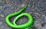 Bắt được rắn lục đuôi đỏ dài 70 cm ở Đà Nẵng