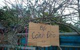 Đào rừng, cam canh chơi Tết có giá hơn chỉ vàng