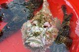 """Thị trường - Lý Sơn: Xuất hiện cá mặt quỷ """"khủng"""" hiếm, giá cao gấp 3 lần bình thường"""