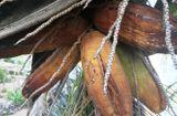 Thị trường - Cây dừa hơn 10 năm tuổi bất ngờ ra trái có hình dáng giống bắp ngô