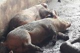 Tin trong nước - Bình Dương: Lợn bỗng dưng chết hàng loạt, nghi bị dịch tả lợn Châu Phi