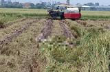Tin trong nước - Đang gặt lúa trên đồng, kinh hãi phát hiện thi thể đang phân hủy mạnh