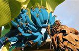 Cộng đồng mạng - Bí ẩn về loại chuối màu xanh lam trên đảo Hawaii