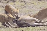 Video-Hot - Video: Bầy sói hung dữ lao xuống nước, cắn xé xác hươu