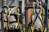 Tin thế giới - Thí nghiệm dùng lợn sống làm hình nộm thử tai nạn xe hơi tại Trung Quốc bị lên án