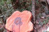 An ninh - Hình sự - Vụ phá rừng tại VQG Phong Nha - Kẻ Bàng: Tạm giam trạm trưởng trạm kiểm lâm 4 tháng