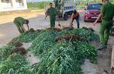 Tin trong nước - Người đàn ông trồng 500 cây cần sa rải rác trên 1ha đất rẫy cà phê khai gì?
