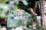 Tin thế giới - Vừa mở cửa kinh doanh lại, nữ nhân viên sở thú đã bị hổ Siberia tấn công tử vong