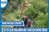 Video-Hot - Video: Đang ghì chặt con mồi, sư tử cái bị trâu rừng húc văng lên không trung
