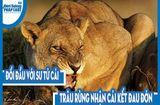 Video-Hot - Video: Đối đầu với sư tử cái, trâu rừng nhận cái kết đau đớn