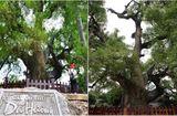 """Ăn - Chơi - Chiêm ngưỡng cây dã hương nghìn năm tuổi, """"thần mộc"""" độc nhất vô nhị ở Bắc Giang"""