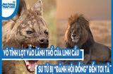 """Video-Hot - Video: Vô tình lọt vào lãnh thổ của linh cẩu, sư tử bị """"đánh hội đồng"""" đến tơi tả"""