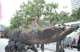 """Tin trong nước - Chiêm ngưỡng dàn cây cảnh hơn 150 tỷ đồng của đại gia Thịnh """"đồng nát"""""""