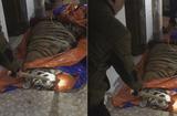 Tin trong nước - Phát hiện cá thể hổ nặng 250kg chết trong nhà dân ở Hà Tĩnh