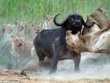 Video-Hot - Video: Phục kích trâu rừng, sư tử bất ngờ nhận kết cục đau đớn