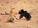 Video-Hot - Cuộc chiến sinh tồn: Chúa sơn lâm ráo riết truy đuổi gấu đen