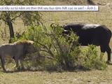 Video-Hot - Video: Bị trâu rừng tấn công cả bầy sư tử nằm im không giám nhúc nhích