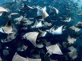 Video-Hot - Cảnh tượng hiếm gặp: Khoảng 10.000 con cá đuối quỷ tụ tập ngoài khơi
