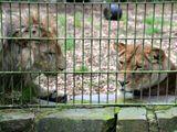 Chàng trai nhảy qua hàng rào để vào chuồng nằm cùng sư tử dù được can ngăn